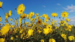 seizoenswandeling zonnebloemen